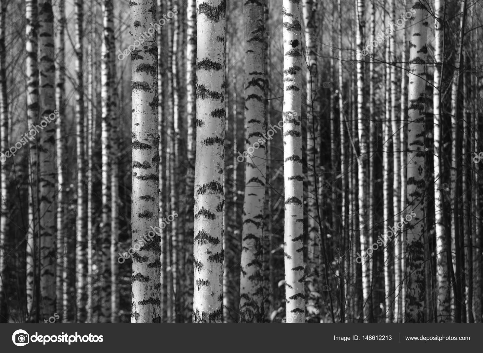 troncos de abedul llenan el marco del espacio — Fotos de Stock ...