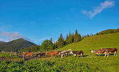 Alpesi tehén. Tehenek gyakran tartanak a gazdaságokban és a falvakban. Ez i