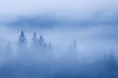 fog over pine tree forest
