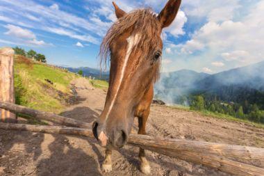 Horses, feeding on grass at high-land Carpathian pasture