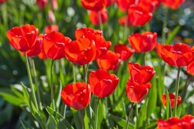 Tulip flowers in close up