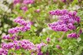 Lila květy. Banda krásné lila closeup. W zelená