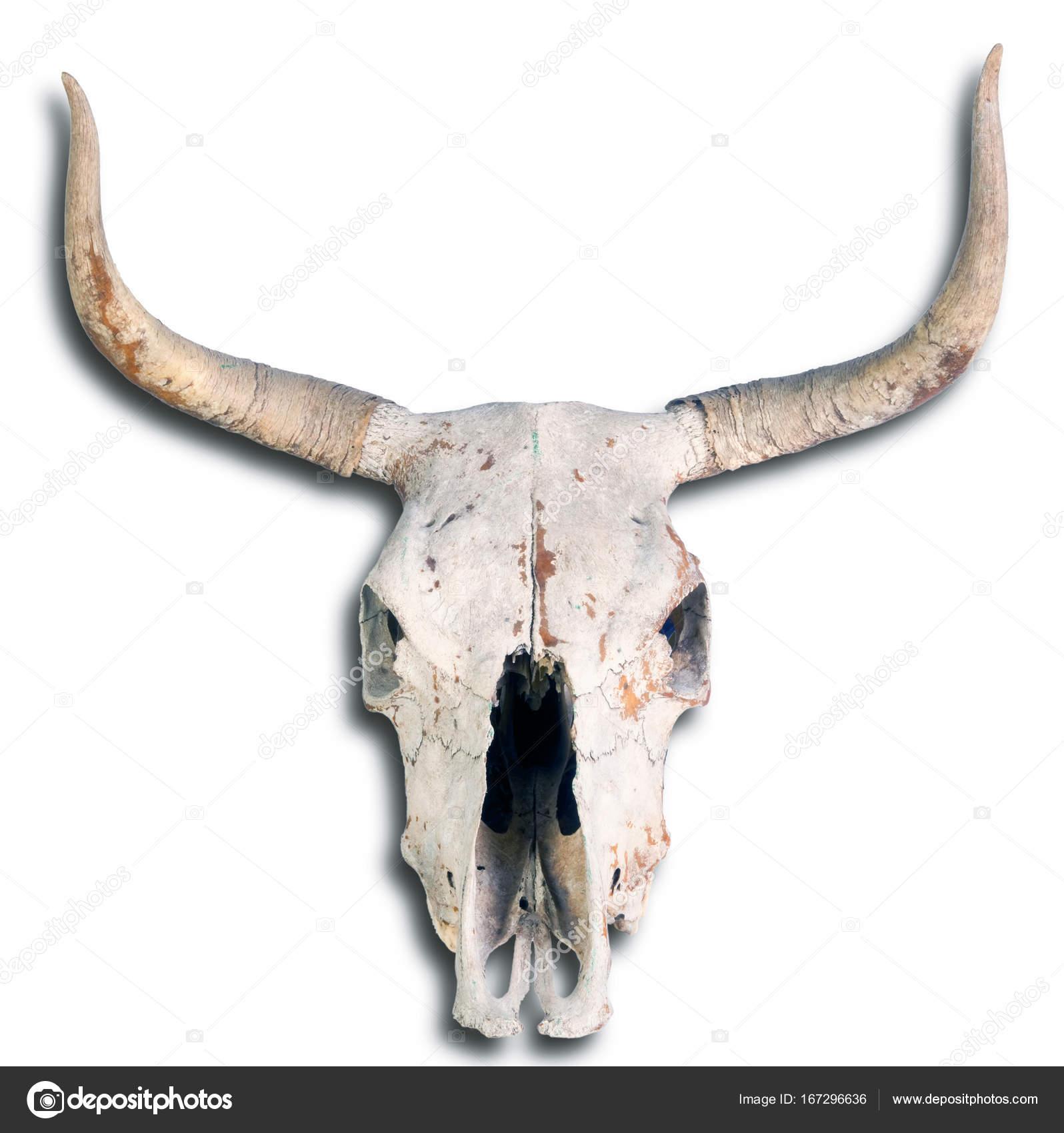 Old Cow Skull Stock Photo Mj0007 167296636