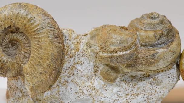 alte Ammoniten-Fossilien.