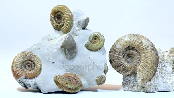 Ammoniten-Fossilien.