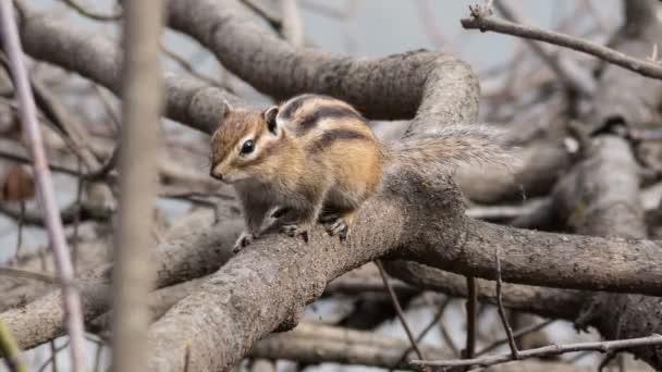 Streifenhörnchen in ihrem natürlichen Lebensraum