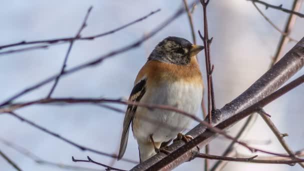 samčí brambling sedí na větvi stromu