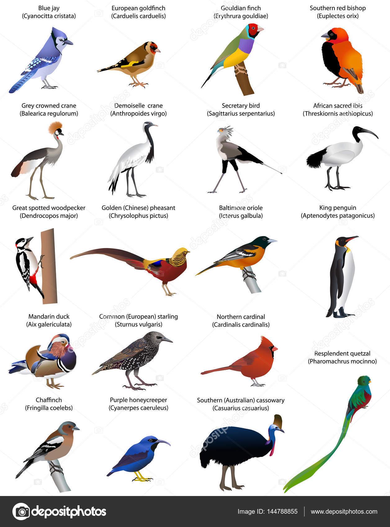 e23acb6a4d1 Collectie van verschillende soorten vogels. Kleur vector– stockillustratie