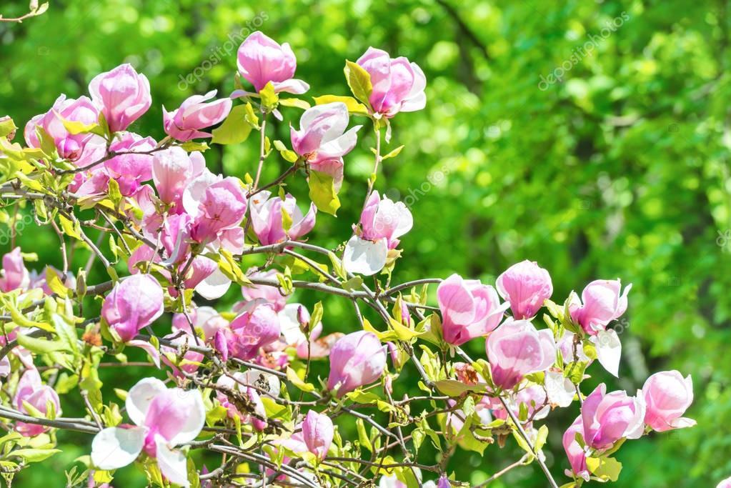 blooming flowers of Magnolia soulangeana