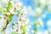 Bílé květy na stromě květ třešně