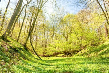 Green grass on meadow in spring forest