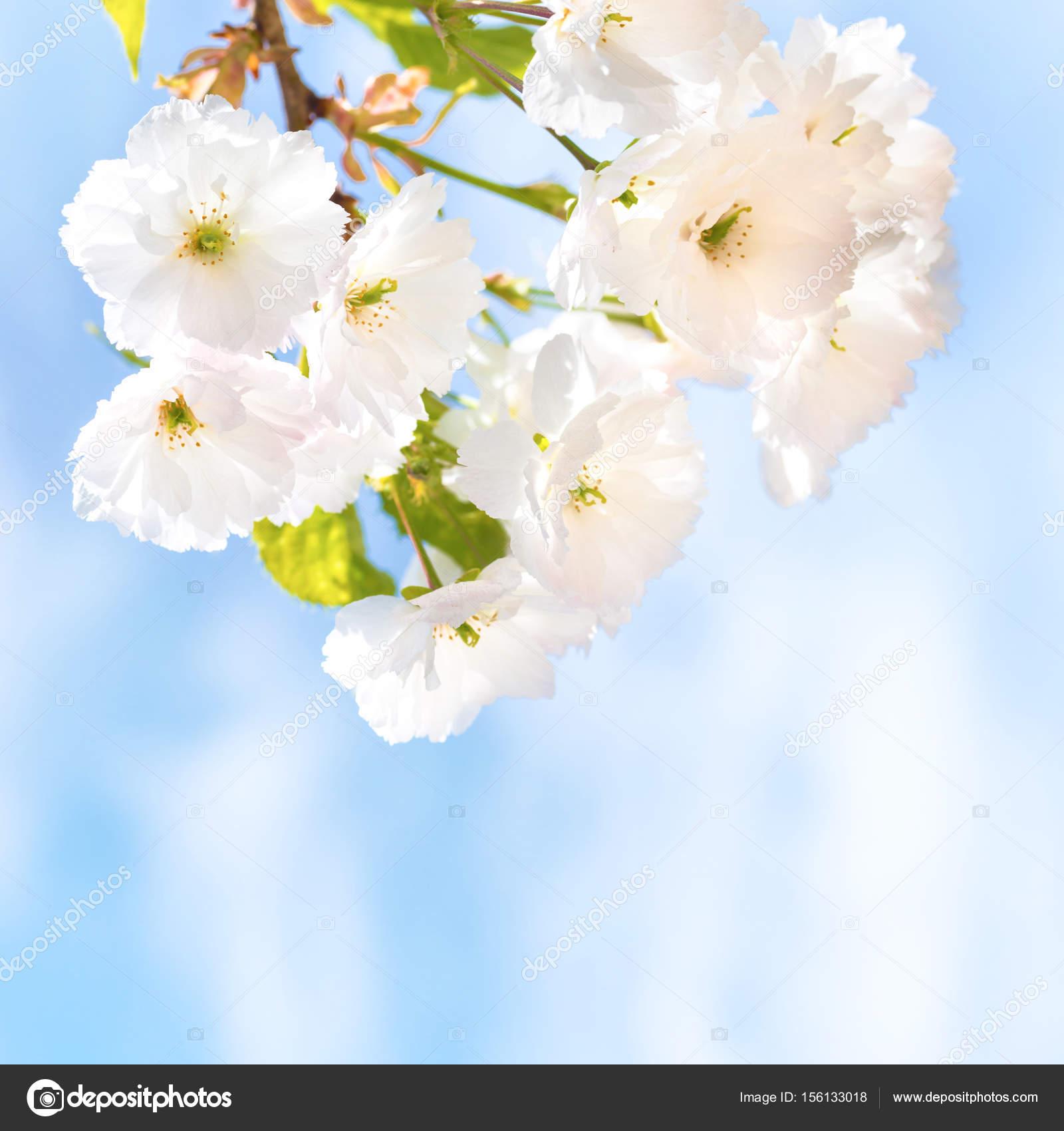 Fleurs De Cerisier Blanc Sakura Photographie Dovapi 156133018