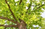 grande vecchio albero di quercia