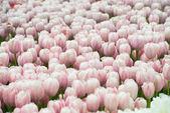 Fotografie Pole růžové květy tulipánů