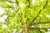 Photo Big old oak tree