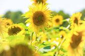 pole žluté slunečnice