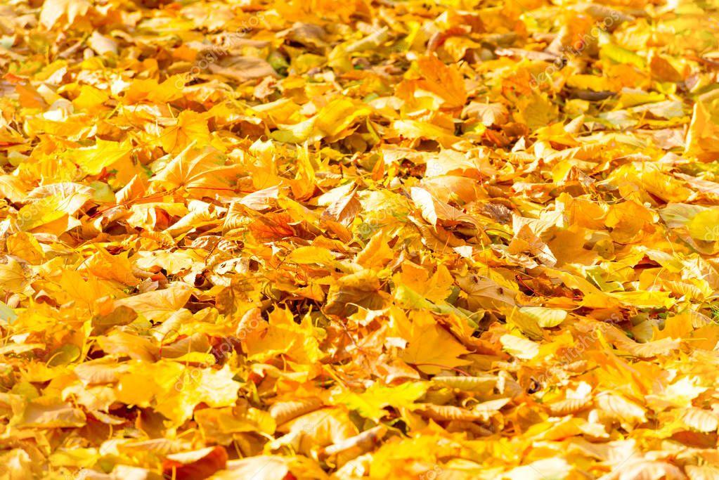 Autumn fallen leaves in park