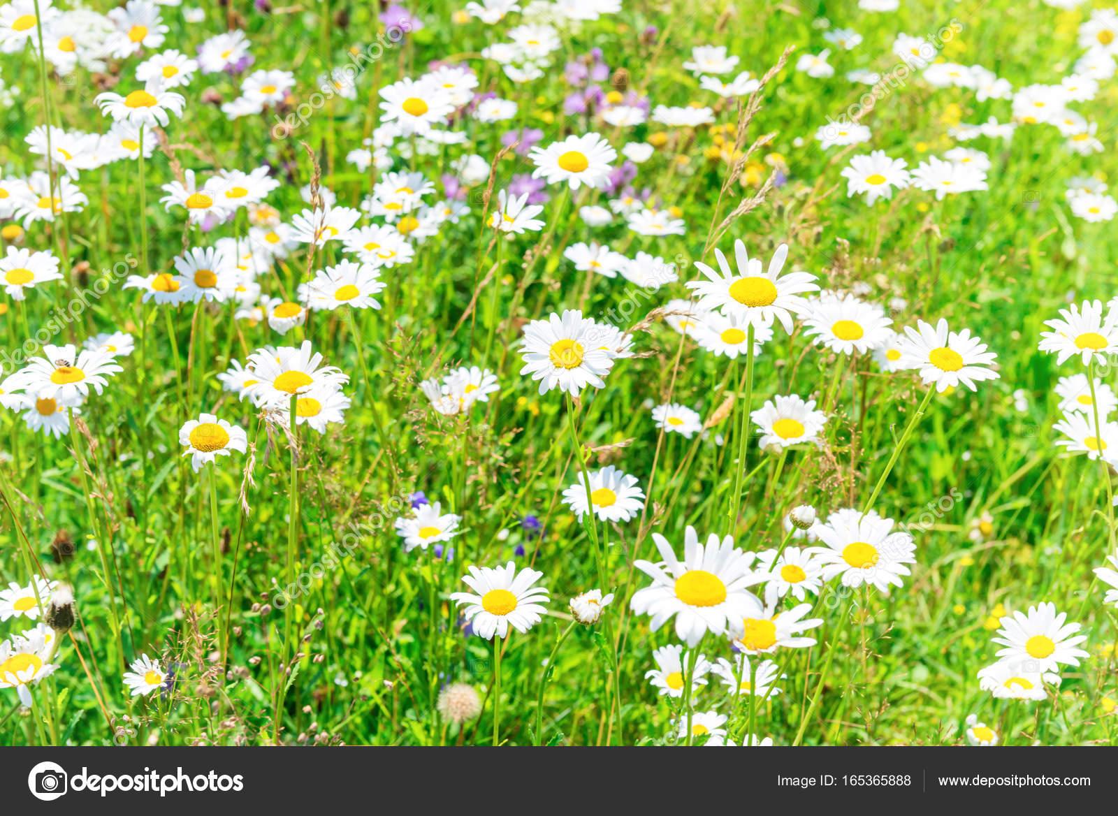 Field of white flowers daisies stock photo dovapi 165365888 field of white flowers daisies stock photo izmirmasajfo