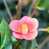 Fotografie Červená jarní květiny v zahradě