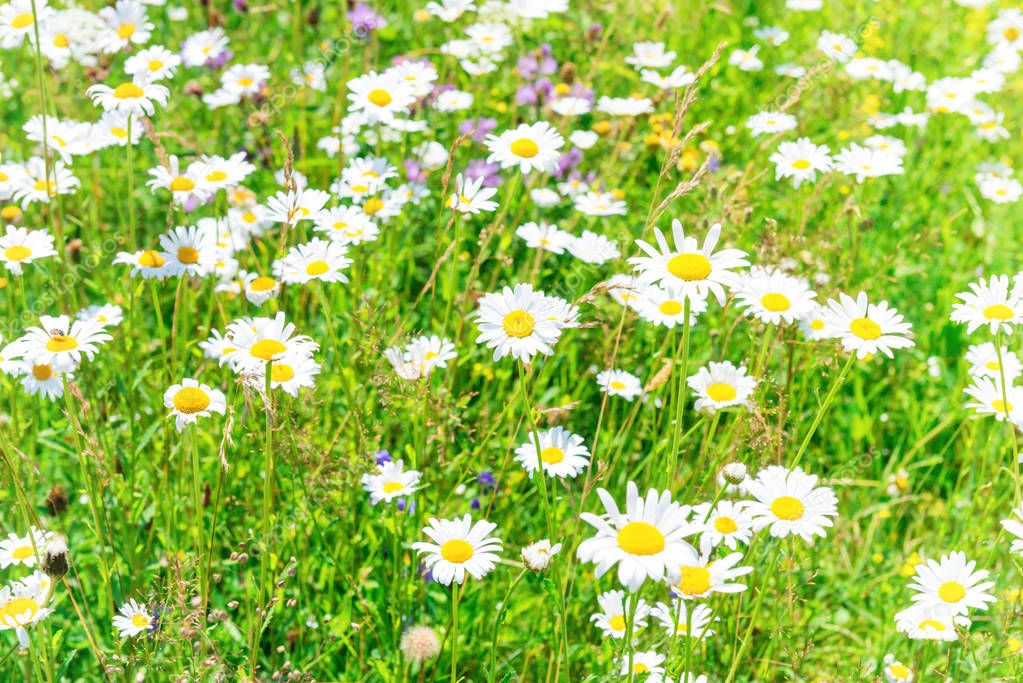 field of white flowers daisies
