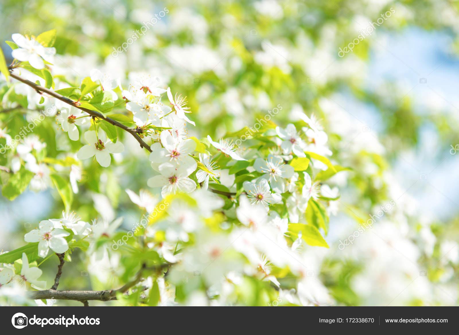 Fleurs Blanches Sur Un Arbre De La Cerise Fleur Photographie