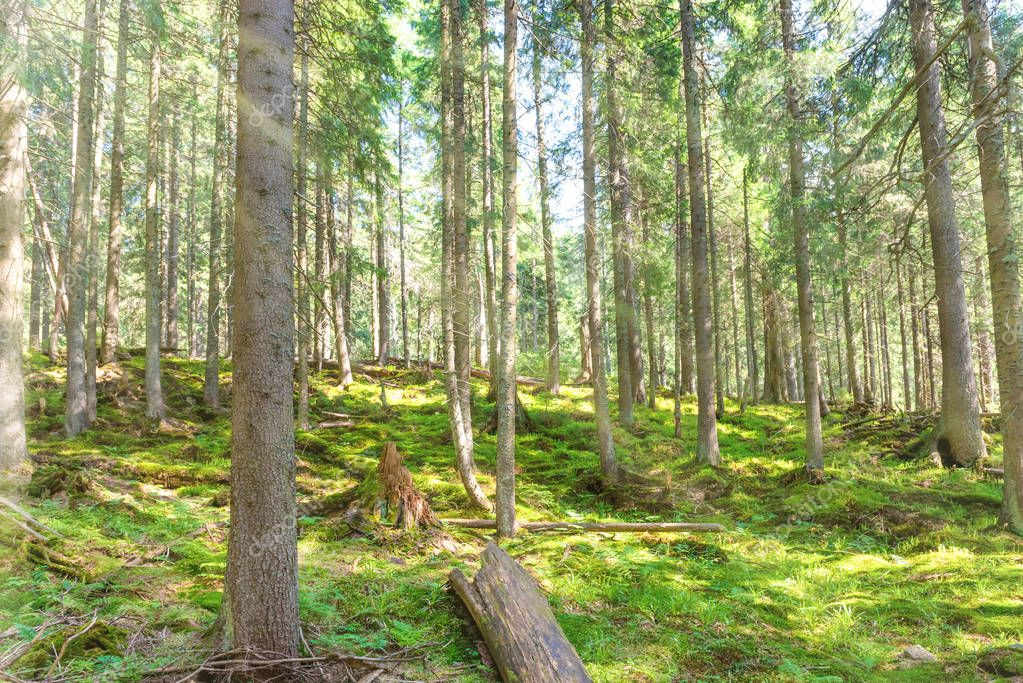 Morning in green spring forest with pine trees