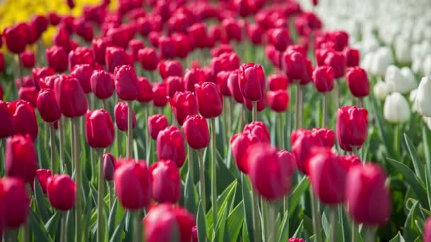 beautiful blooming tulips