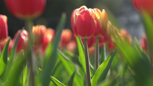 krásné, kvetoucí červené tulipány