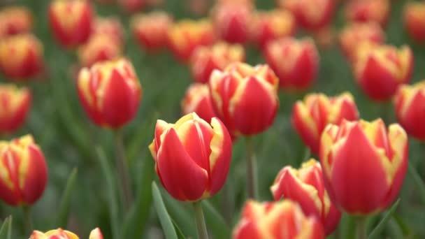 bella fioritura tulipani rossi