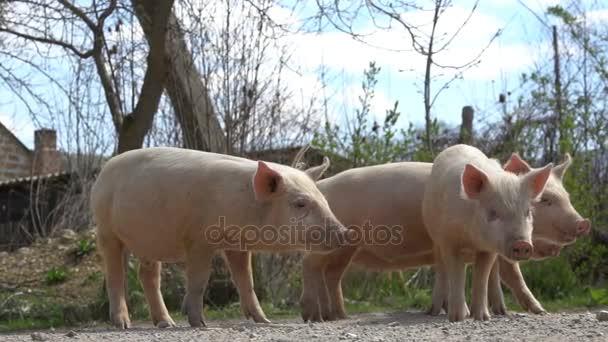 Junge Schweine auf dem Bauernhof