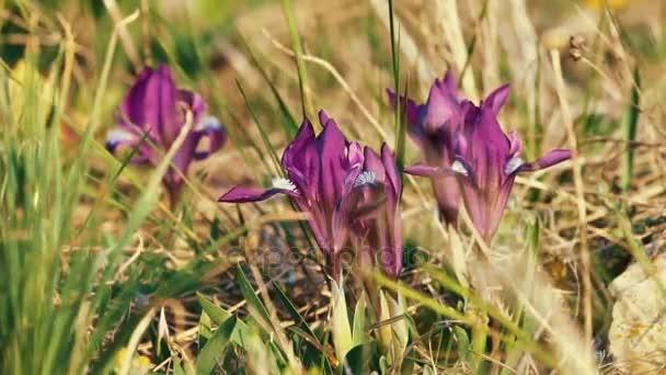 divoké květy kosatce
