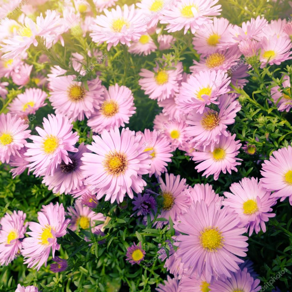 Violet beautiful Asters