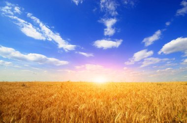 Wheat field against sun light