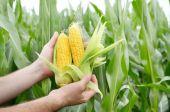 Farmář kontrolní kukuřičné klasy