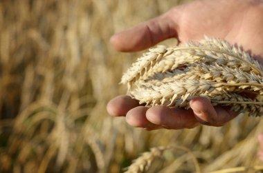 Hand holding wheat ears