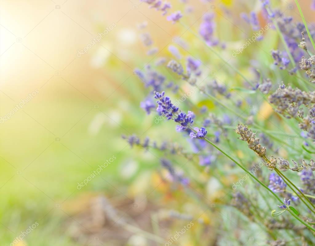Lavender flowers blooming