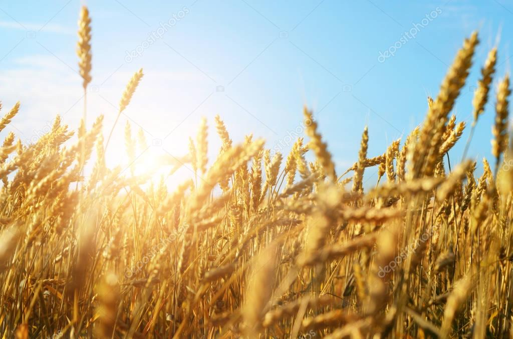 Wheat field in sunny day under blue sky