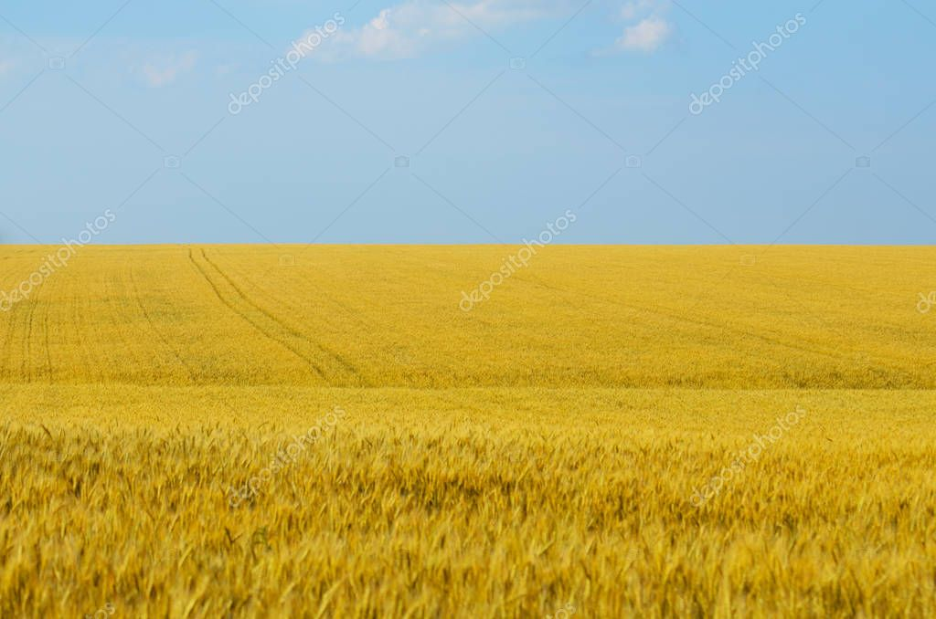 Wheat field in summer sunny day under cloudy blue sky