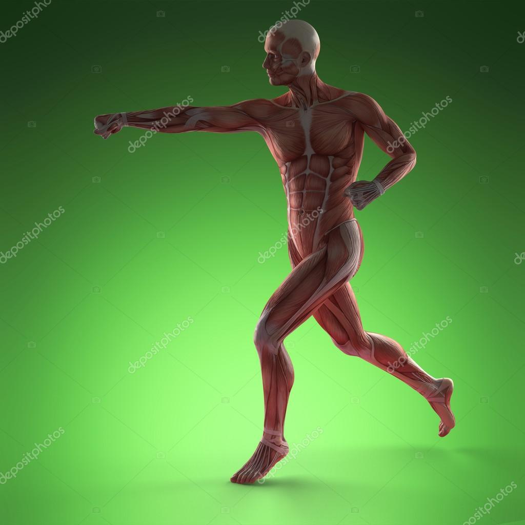 menschlichen Muskel-Anatomie — Stockfoto © icetray #125161058
