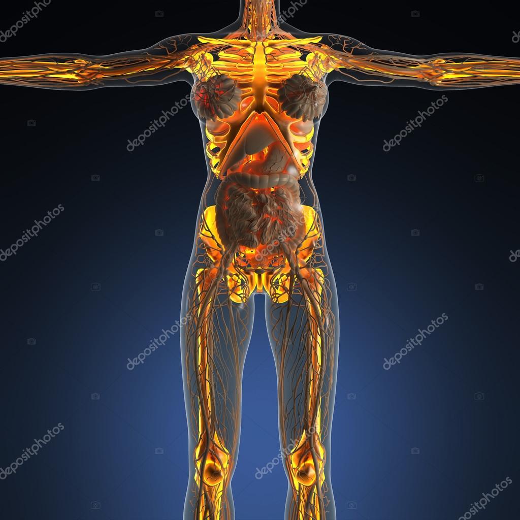 Beste Science anatomie van het menselijk lichaam in x-stralen met glow CR-41