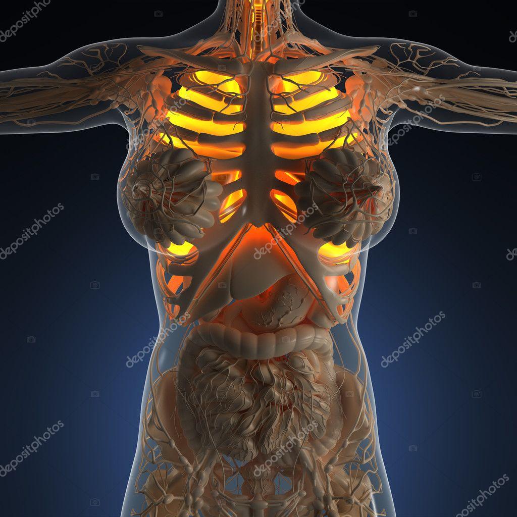 Wissenschaft-Anatomie der Körper der Frau mit glow Lunge — Stockfoto ...