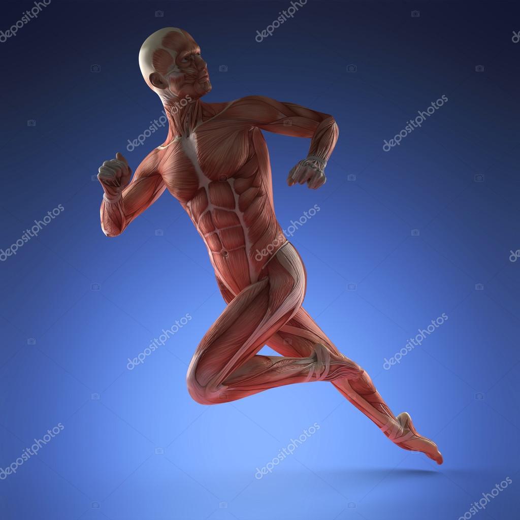 menschlichen Muskel-Anatomie — Stockfoto © icetray #125841002