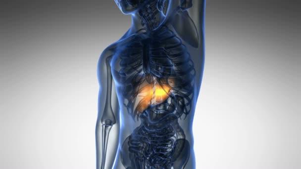 Věda anatomie scan z lidských jater zářící žlutá