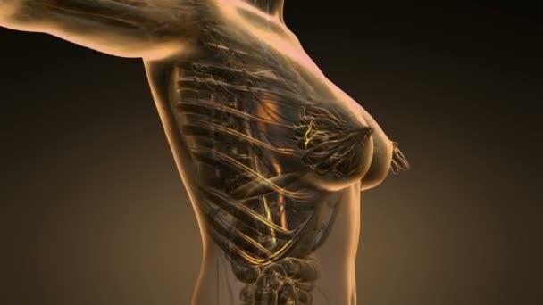 exploración por bucle ciencia anatomía de los vasos sanguíneos de la ...