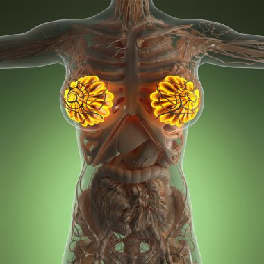 Science anatomy of human body with glow mammary gland