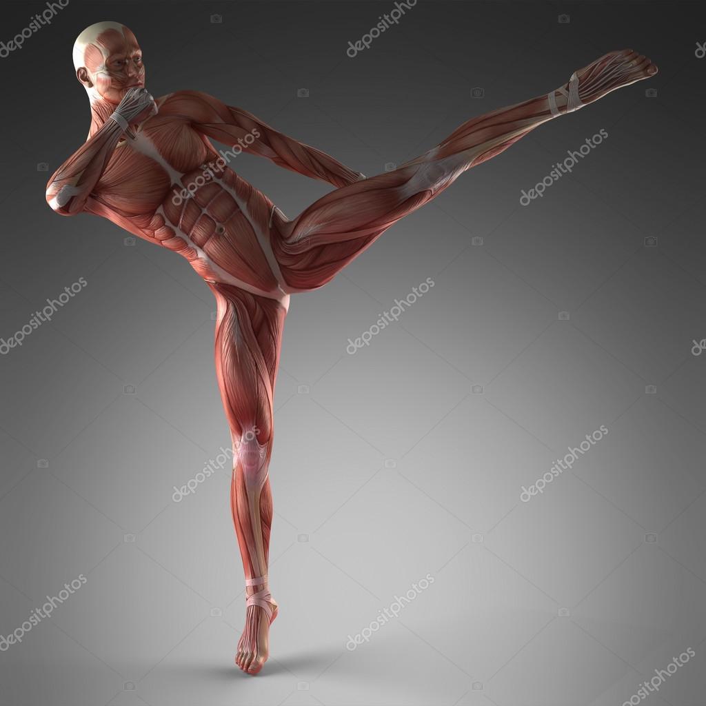menschlichen Muskel-Anatomie — Stockfoto © icetray #125916836