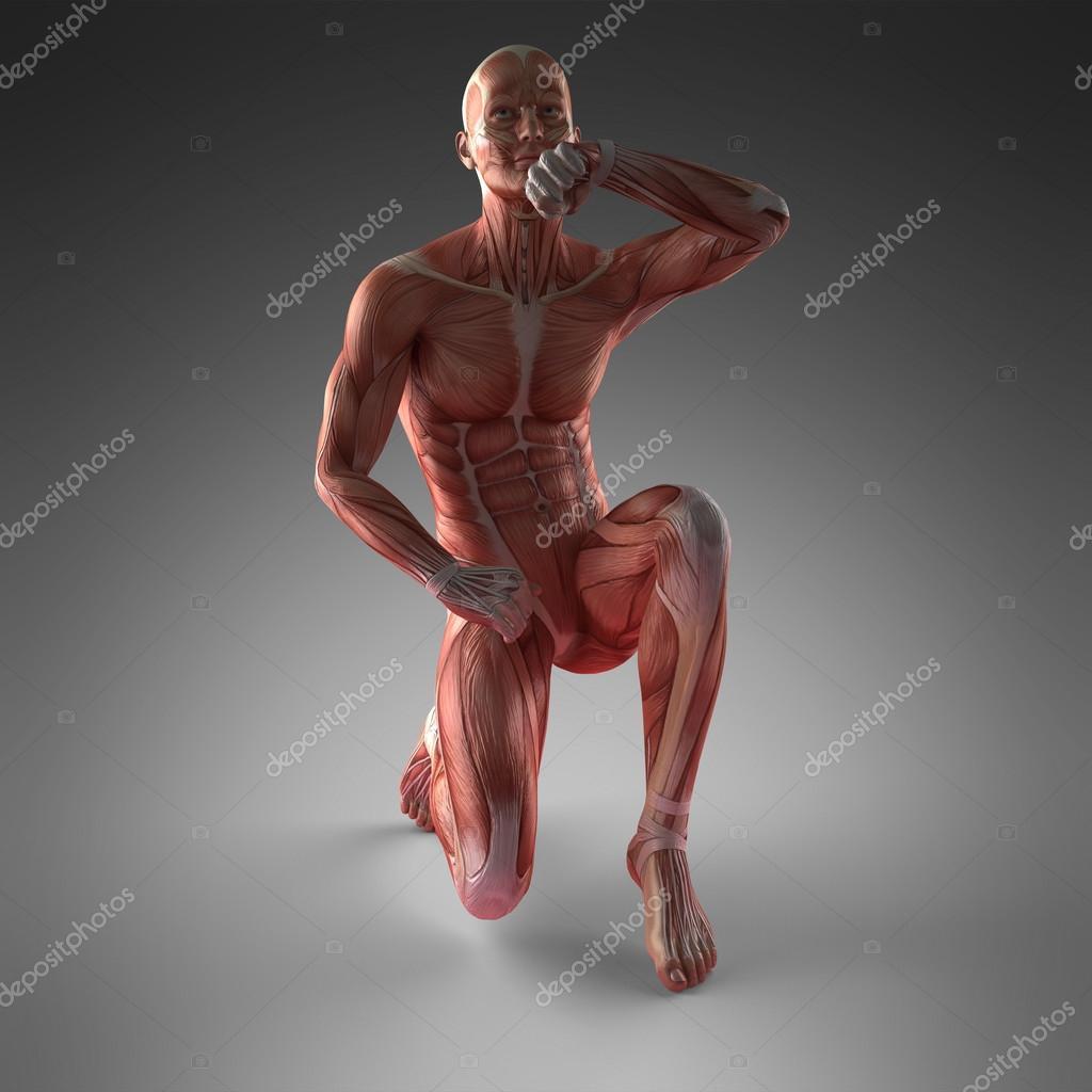 menschlichen Muskel-Anatomie — Stockfoto © icetray #125917576