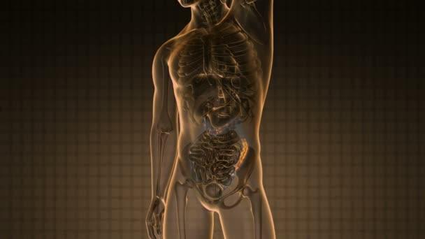 Anatomia di scienza del colon umano incandescente con giallo