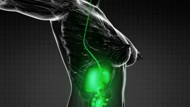 science anatomy scan of human digestive system glowing