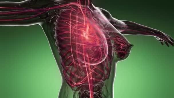 Schleife Wissenschaft Anatomie-Scan von Frauenherz und glühenden Blutgefäßen